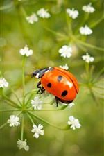 iPhone壁紙のプレビュー 1つの赤いてんとう虫、白い小さな花
