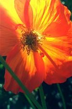 Close-up flor papoila laranja, pétalas, luz de fundo