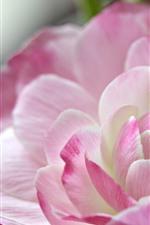 Close-up de flor de ranúnculo rosa, pétalas