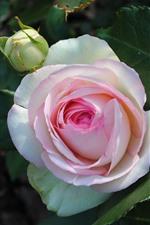 Pétalas brancas cor-de-rosa, rosa, folhas verdes