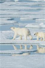 预览iPhone壁纸 北极熊,步行,雪,海