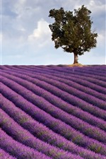Preview iPhone wallpaper Purple lavender field, tree, clouds