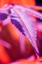 Preview iPhone wallpaper Red maple leaves, macro photography, autumn