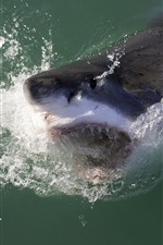 Preview iPhone wallpaper Sea animal, shark, mouth, teeth, water splash