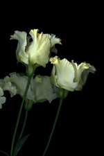 Preview iPhone wallpaper Some white tulips, flowers, black background