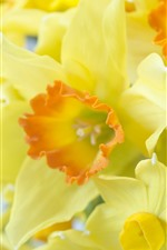 Preview iPhone wallpaper Some yellow daffodils, flowers close-up, petals