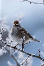 Preview iPhone wallpaper Sparrow, bird, twigs, snow, winter
