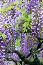 Preview iPhone wallpaper Spring flowers, wisteria, purple