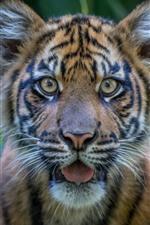 Тигр, лицо, взгляд, глаза, уши, вид спереди