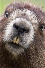 Preview iPhone wallpaper Beaver, face, teeth