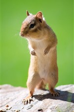 Preview iPhone wallpaper Chipmunk, standing, shadow, rock