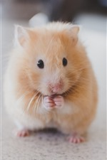 Preview iPhone wallpaper Cute hamster, rodent