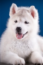 Preview iPhone wallpaper Cute white puppy, Husky dog
