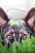 Dog, look, eyes, green grass