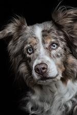 Cão, olhar, cara, olhos, fundo preto