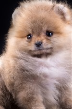 Preview iPhone wallpaper Fluffy puppy, Spitz, dog, black background