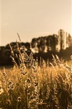 Aperçu iPhone fond d'écranHerbe, coucher de soleil, Spikelets, été