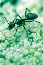 Preview iPhone wallpaper Insect ant, white little flowers