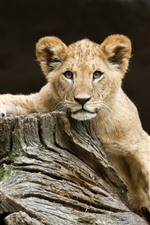 Preview iPhone wallpaper Lion cub, look, wood