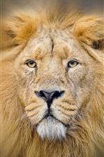 Preview iPhone wallpaper Lion, face, eyes, mane, hazy
