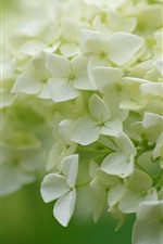 Muitas flores, hydrangea branca, inflorescência