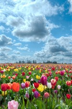Muitas flores de tulipa, colorido, nuvens, céu