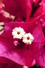 iPhone壁紙のプレビュー ピンクのブーゲンビリアの花のクローズアップ、花びら、雌しべ