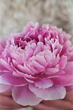 Preview iPhone wallpaper Pink peony flower, petals, hands, hazy