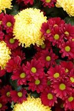 Crisântemos vermelhos e amarelos, muitas flores