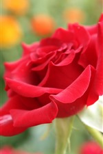 Preview iPhone wallpaper Red rose close-up, flower, petals