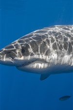 Preview iPhone wallpaper Sea animal, shark, underwater, fish