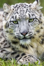 Preview iPhone wallpaper Snow leopard, rest, front view, look, eyes, grass