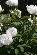 Algumas peônias brancas, flores, folhas verdes