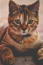 Preview iPhone wallpaper Striped cat, look, cute pet