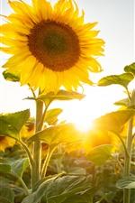 Preview iPhone wallpaper Sunflowers, sun rays, summer