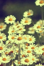 Preview iPhone wallpaper White daisies, hazy, flowers