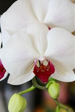 Preview iPhone wallpaper White phalaenopsis, flowers, petals, stem