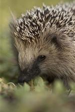 Preview iPhone wallpaper Cute little animal, hedgehog, hazy