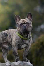 Preview iPhone wallpaper French bulldog, dog, gray, stone