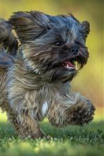 Preview iPhone wallpaper Furry puppy running, grass