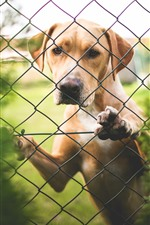 Preview iPhone wallpaper Labrador, dog, fence, look