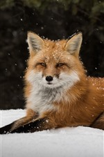 Preview iPhone wallpaper Lonely fox, snow, look, rest