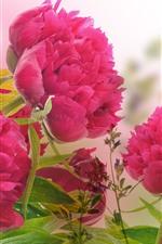 iPhone壁紙のプレビュー ピンクの牡丹、花、花びら、水滴