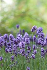 iPhone壁紙のプレビュー 紫色のラベンダーの花、緑の背景