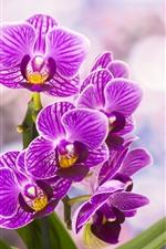 Preview iPhone wallpaper Purple phalaenopsis flowering, hazy background