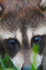 iPhone壁紙のプレビュー アライグマ、顔、目、かわいい動物
