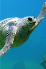 iPhone壁紙のプレビュー 海の動物、カメ、水泳、水中