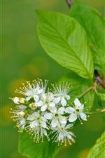 Algumas flores brancas florescem, galhos, folhas verdes, nebulosas