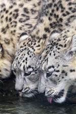 Preview iPhone wallpaper Three snow leopards drink water