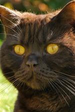 Tomcat, gato, olhos amarelos, rosto, orelhas